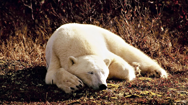 Sleeping Polar Bear