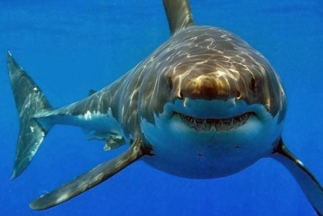 Tubarão branco mata mergulhador