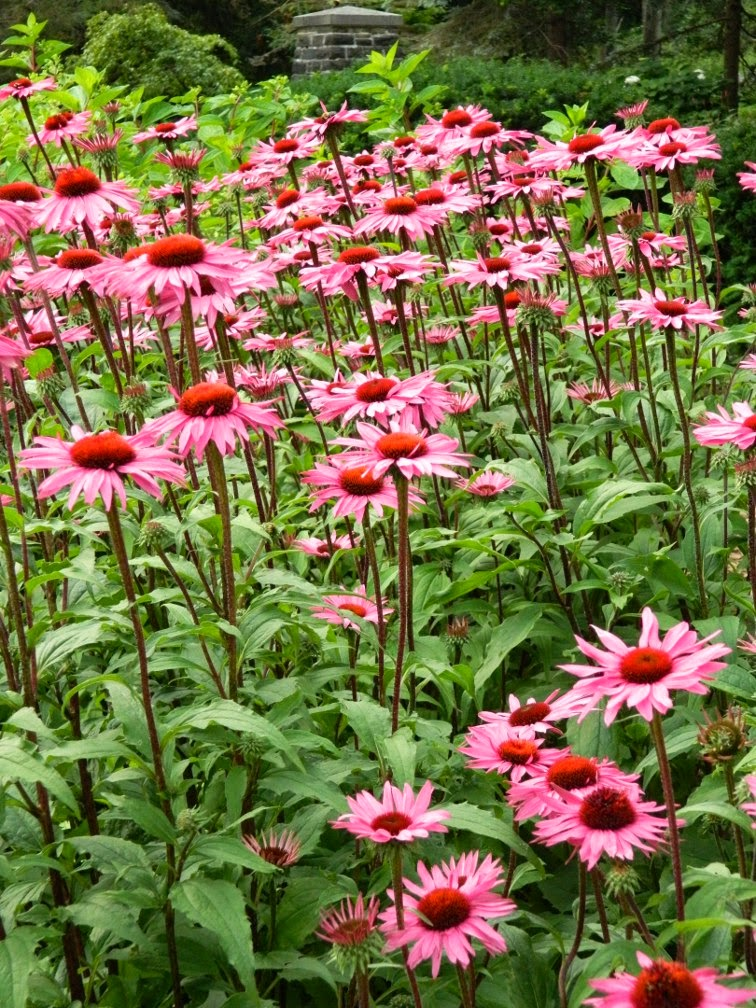 Massed Echinacea purpurea Purple Coneflower James Gardens Etobicoke by garden muses-not another Toronto gardening blog