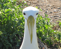 Waved Albatross on Espanola Island Suarez Point Galapagos