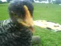 Salvataggio di 2 pulcini: curiosissime salgono sulle mie gambe x vedere un video con Jacopo.