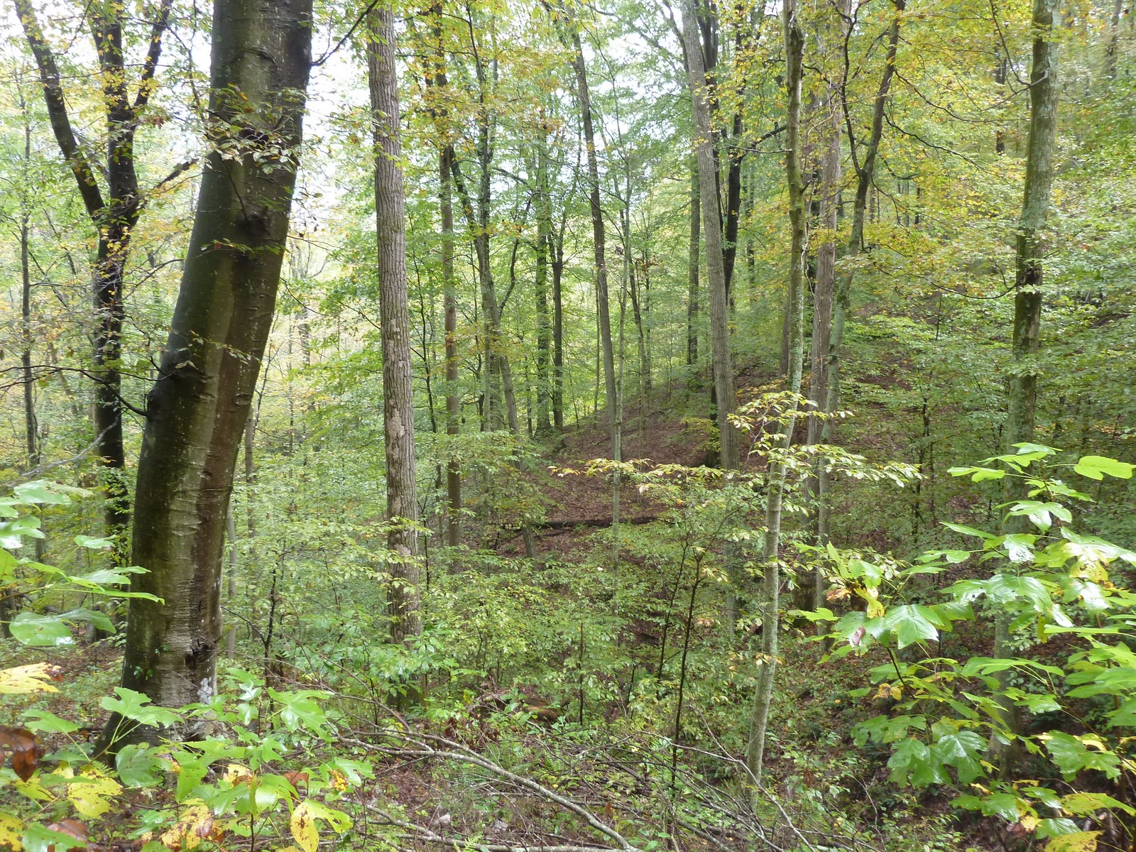 Beech Maple Forest ~ The common milkweed knobstone trail in