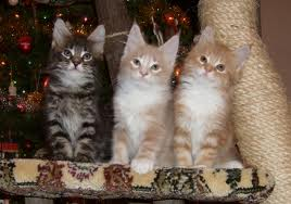 maine coons-kittens