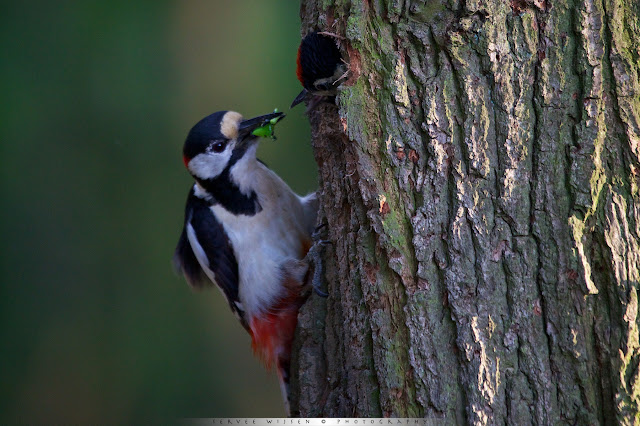 Grote Bonte Specht voert jong bij nest - Great Spotted Woodpecker feeding chick at nest