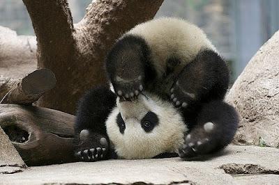 Hình ảnh gấu trúc panda cực dễ thương