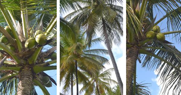 Coco cannelle tout savoir sur la noix de coco de l 39 arbre nos assiettes - Arbre noix de coco ...