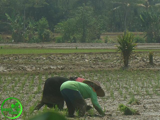 Mengenal TANDUR atau TANJU Teknik Petani Padi Pagaden Barat, Subang