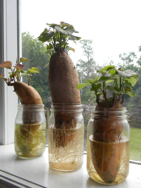 Place The Sweet Potato In A Jar Of Water You Want To Submerse Most While Allowing Inches Above
