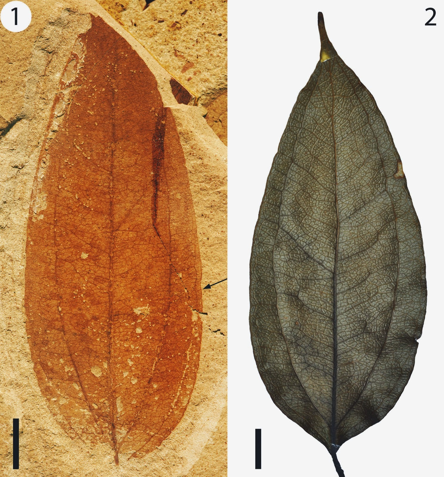 http://sciencythoughts.blogspot.co.uk/2014/11/supplejack-leaves-from-early-eocene-of.html