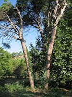 Els tres pins pinyoners de la Font de Bellveí