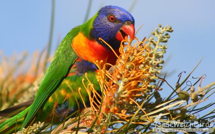 rainbow lorikeet seed casuarina jadewelchbirds jade welch nectar