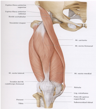 ANATOMY OF MUSCLE GROUPS: MUSCLES OF THE ANTERIOR THIGH / ANATOMÍA ...