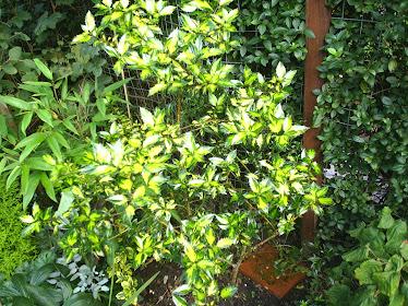 Ilex aquifolium marginata