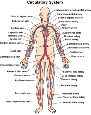 Science Inspiration The Human Circulatory System