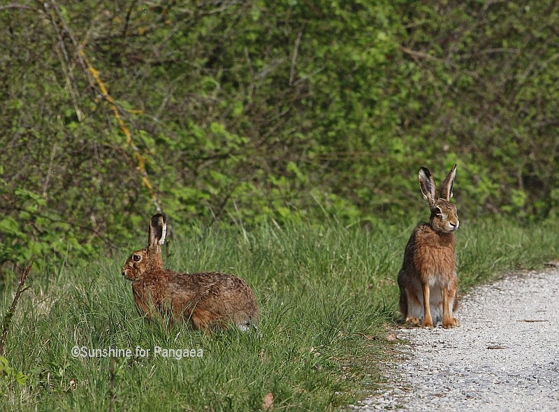 Hares on a way