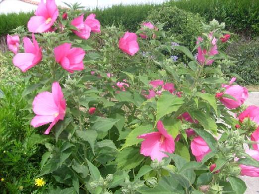 ma plan te jardin l 39 hibiscus des marais une vivace estivale la floraison spectaculaire. Black Bedroom Furniture Sets. Home Design Ideas
