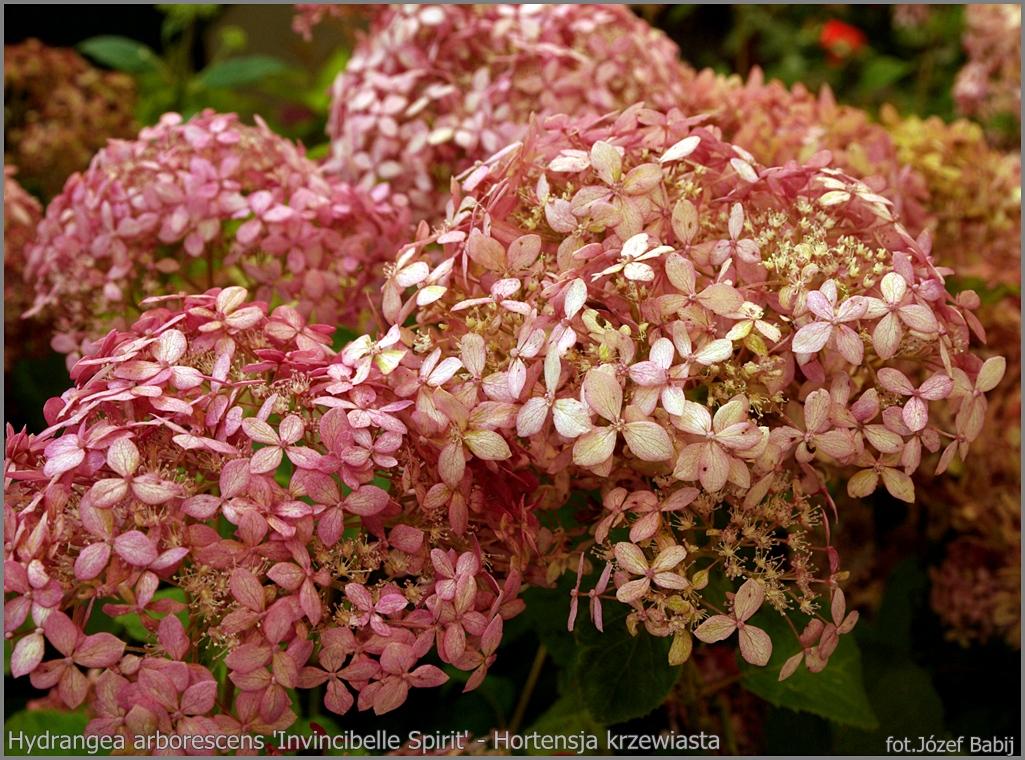 Hydrangea arborescens 'Invincibelle Spirit' - Hortensja krzewiasta