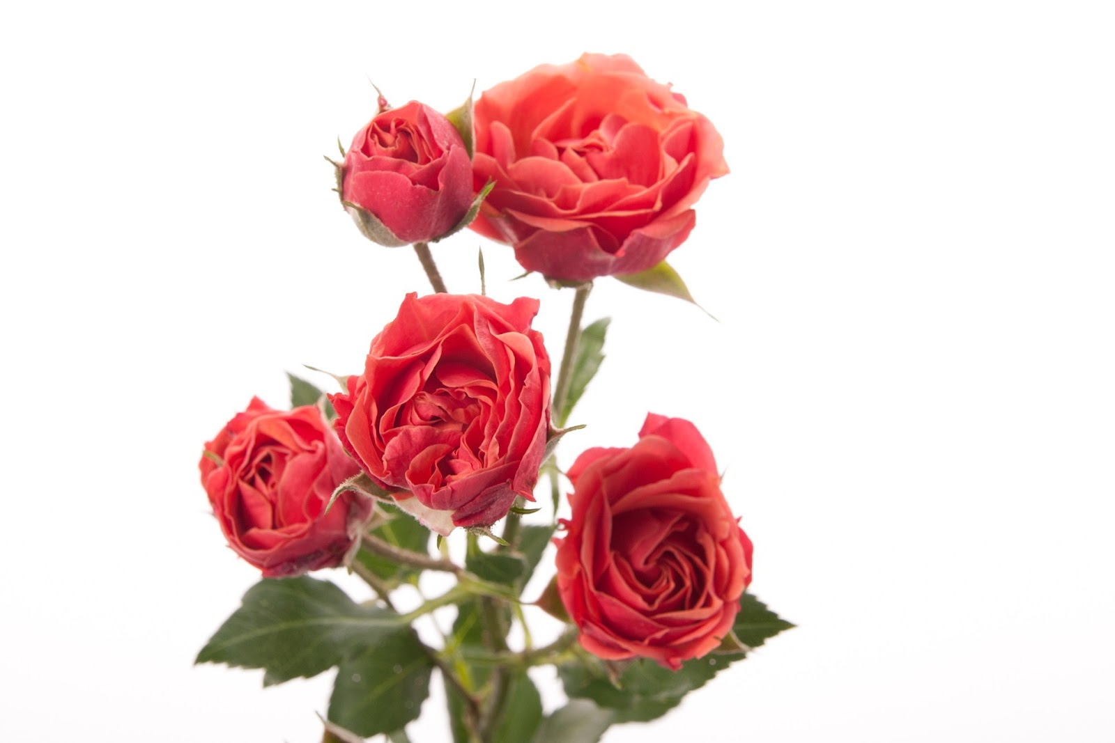 flowers for flower lovers.: Flowers wallpapers.