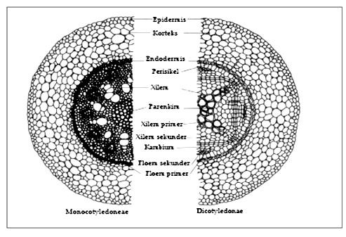 Perbedaan Morfologi Batang Tumbuhan Dikotil Dan Monokotil