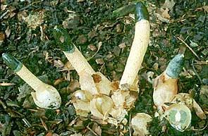 5 jamur paling unik