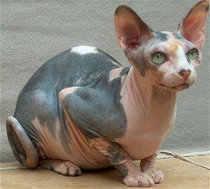 esfinge-gato-sin-pelo-animales-raros