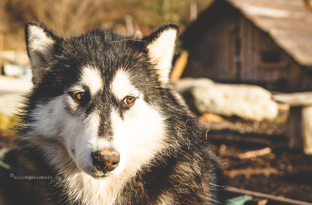 Husky, Nordhund, Schlittenhund