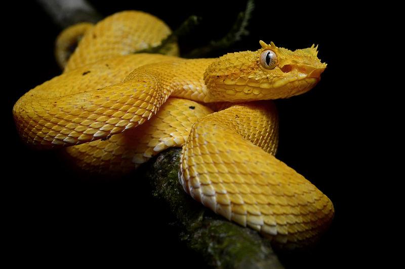 Pit viper snake wallpaper - photo#27