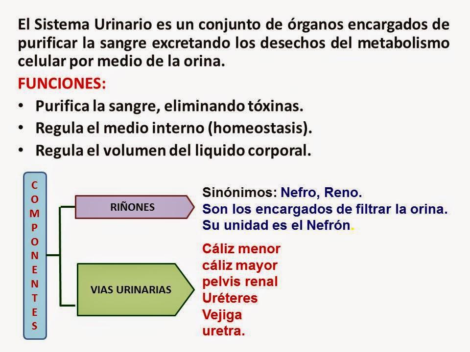 Biología didáctica: BETA 5° - Sistema Urinario Humano