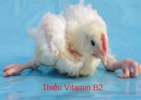 Gà thiếu vitamin B12