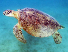 Sea-Turtles - Photo File.