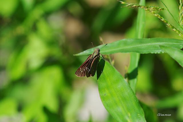雞南山的禾弄蝶