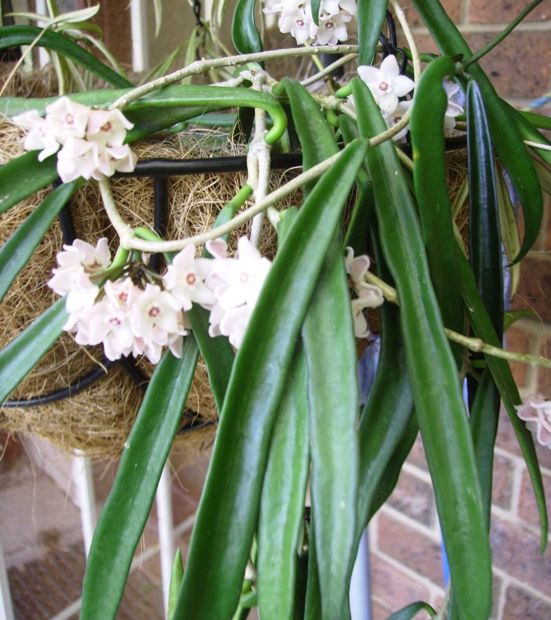 Image gallery hoya plant care for House plant maintenance