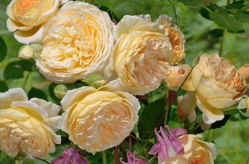 Crown Princess Margareta rose сорт розы фото саженцы