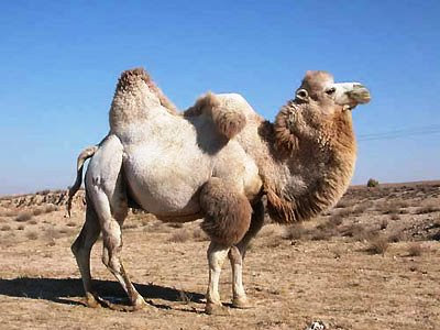 Camelus bactrianus (Camello bactriano)