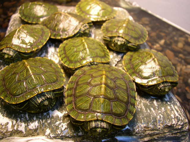 how to tell a male turtle from a female turtle