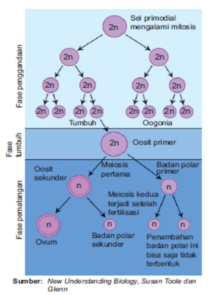 Proses pembentukan sperma dan ovum gambar 2 tahap oogenesis ccuart Choice Image