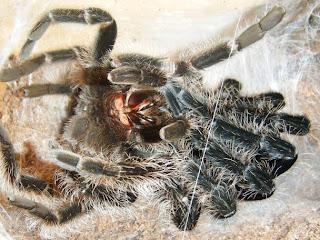 Molting Brachypelma albopilosum Tarantula
