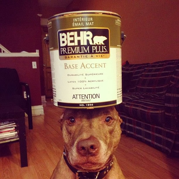 Scout the pit bull balances stuff on his head (30 pics), stuff on Scout's head, scout with a can of paint on his head