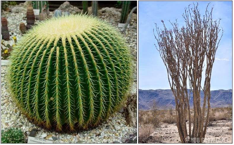 Barrel Cactus Adaptations Stem-succulent Barrel Cactus
