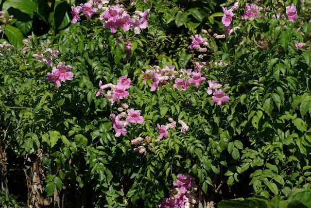 Podranea ricasoliana - Pink Trumpet Vine - Zimbabwe Creeper