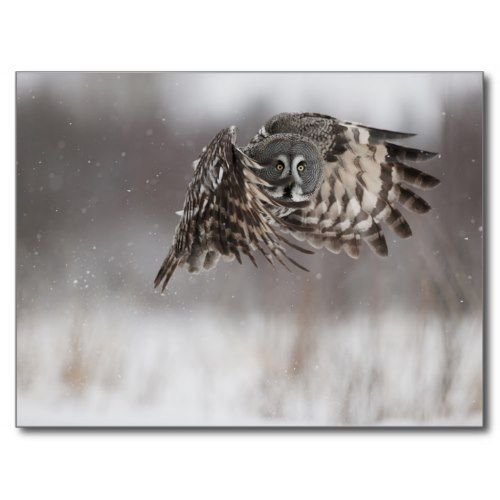 Great Gray Owl In Flight | Wildlife Photo Poster