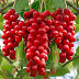 Schisandra benefits
