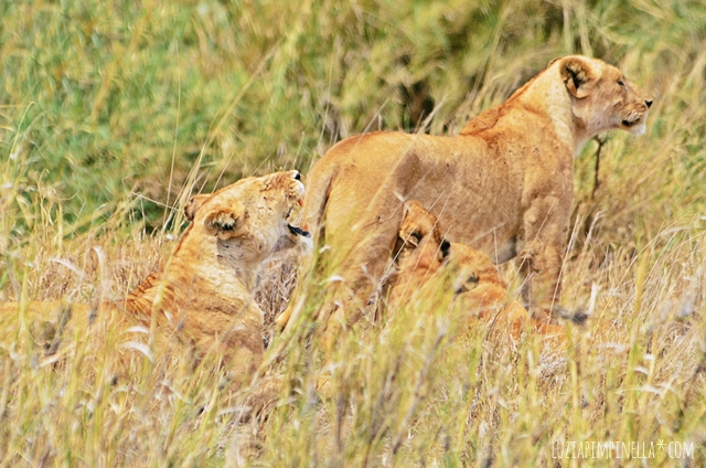 luzia pimpinella | travel tansania | safari in der serengeti - löwen