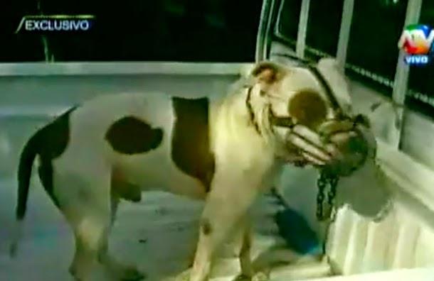 Perro Pitbull ataca ferozmente a niño, sería sometido a eutanasia