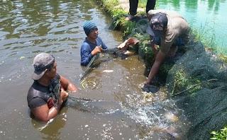 cara budidaya ikan gurame,agar cepat besar,di kolam tembok,di kolam terpal,di kolam beton,pemijahan,ternak,mengembangbiakan,