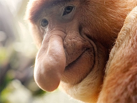 Resultado de imagen para mono narigudo