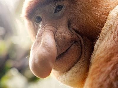 animales-raros-mono-narigudo