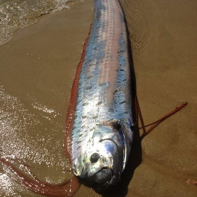 Big fishes of the world oarfish regalecus glesne for What is the biggest fish ever caught