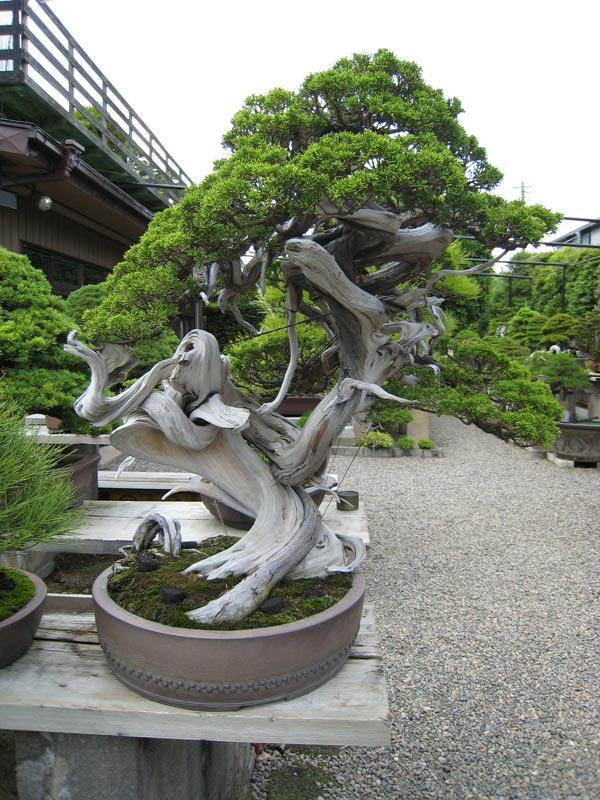 nostromo bonsai jardin de kimura parte iii. Black Bedroom Furniture Sets. Home Design Ideas