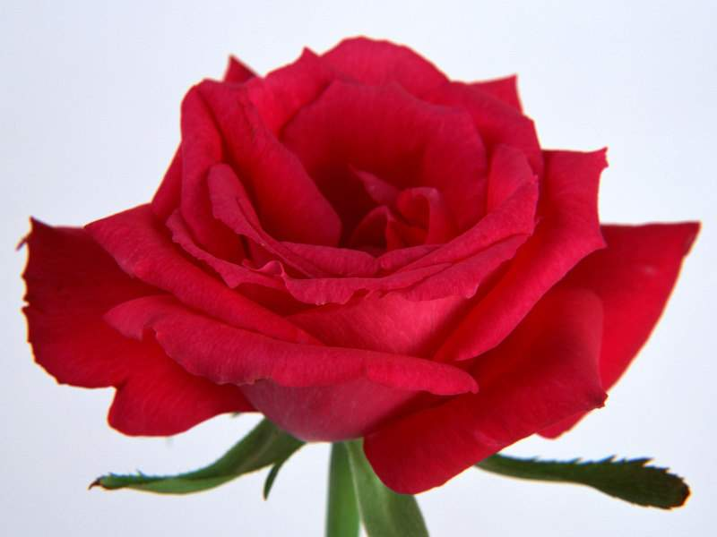 Single Red Rose Flowers - Flower HD Wallpapers, Images